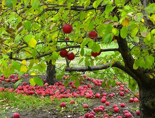 Elma Ağacının Özellikleri