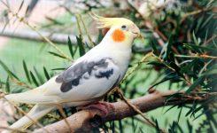 Sultan Papağanı Cinsiyeti Öğrenme
