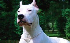 Dogo Argentino Nasıl Bir Köpektir ?